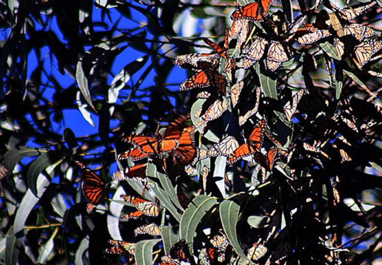 Wintering Monarch butterflies
