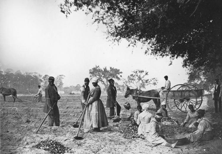 African American men and women hoe and plow the earth while others cut piles of sweet potatoes for planting at James Hopkinson's Plantation.
